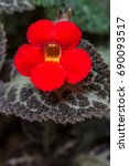 Close Up Of Red Episcia...