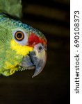 Small photo of Red-lored Amazon (Amazona autumnalis) in aviary, Nicaragua