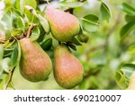 Small photo of William Bon Chretian pears ripening on the tree