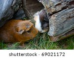 Two Guinea Pigs Met On The...