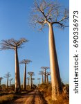 Small photo of Adansonia Grandidieri, baobab trees at sunset at the avenue of the baobabs, west of Madagascar.