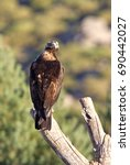 Small photo of Adult male of Spainsh imperial eagle. Aquila adalberti.