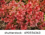 Cotoneaster Horizontal With Re...