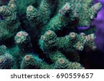 Small photo of Acropora Millepora