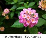 Lantana Tropical Pink Flowers...