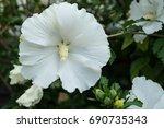 white flower blooming | Shutterstock . vector #690735343