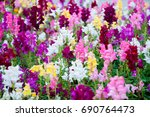 Colorful Snapdragons Flowers I...