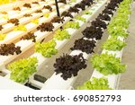 fresh hydroponic vegetables are ...   Shutterstock . vector #690852793