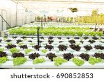 fresh hydroponic vegetables are ...   Shutterstock . vector #690852853