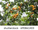 Apricots On The Branch...