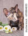 Three Colored Oriental Cat ...