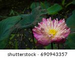 Close Up Withered Pink Lotus...