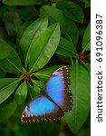 blue butterfly  morpho peleides ... | Shutterstock . vector #691096387