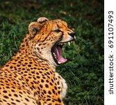 Small photo of African cheetah image (Acinonyx Jubatus)