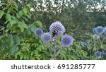 blue thistle  bumblebee. icon ...   Shutterstock . vector #691285777