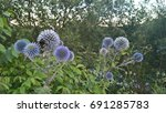 blue thistle  bumblebee. icon ... | Shutterstock . vector #691285783