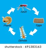 mosquito life cycle vector... | Shutterstock .eps vector #691383163