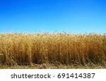 golden wheat field with with... | Shutterstock . vector #691414387
