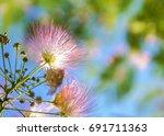 Small photo of fluffy pink flowers Albizia julibrissin / Albizia julibrissin