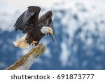 American Bald Eagle Landing On...