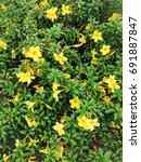 Small photo of Allamanda cathartica, yellow flower blossom