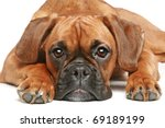 German Boxer Puppy  5 Month ...