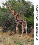 giraffe looking out for... | Shutterstock . vector #691893907