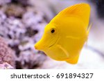 yellow tang fish  zebrasoma... | Shutterstock . vector #691894327