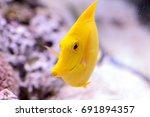 yellow tang fish  zebrasoma... | Shutterstock . vector #691894357
