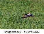 common shelduck  tadorna... | Shutterstock . vector #691960807