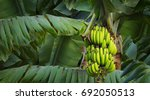 banana tree with a bunch of... | Shutterstock . vector #692050513