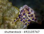 Blue Ringed Octopus ...