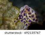 blue ringed octopus ... | Shutterstock . vector #692135767