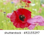 Red Poppies Flowers With The...