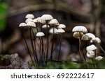 Small photo of marasmius rotula mushrooms