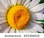 chamomile flower macro close up