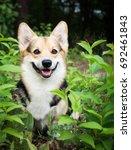dog breed welsh corgi pembroke... | Shutterstock . vector #692461843
