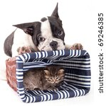 Stock photo purebred french bulldog and little kitten 69246385