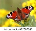 european peacock butterfly ... | Shutterstock . vector #692508343