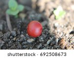 Small photo of Macro shot of an American cranberrybush fruit on the ground