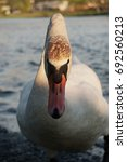 Small photo of Angry Swan