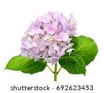 Hydrangea Flowers Isolated On...
