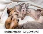 Stock photo cute and funny kittens little purebred abyssinian kittens in the basket playing together ruddy 692695393