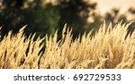 wild prairie grass under warm... | Shutterstock . vector #692729533