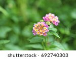 lantana camara | Shutterstock . vector #692740303
