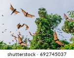 flying foxes   bats   in the... | Shutterstock . vector #692745037