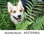 dog breed welsh corgi pembroke... | Shutterstock . vector #692755963