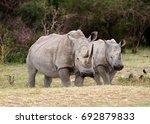 Wild White Rhinoceros Aka...