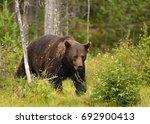 wild brown bear  ursus arctos  | Shutterstock . vector #692900413