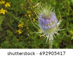 Common Thistle  Cirsium Vulgar...